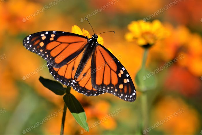 Colorful nature orange monarch butterfly with floral background