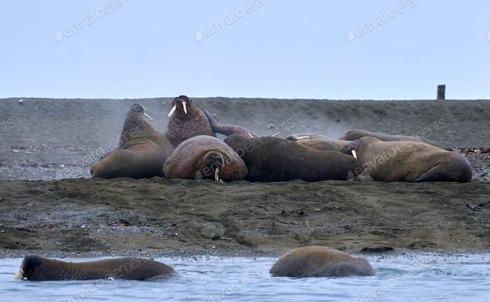 Walrus by the Sea in Svalvard