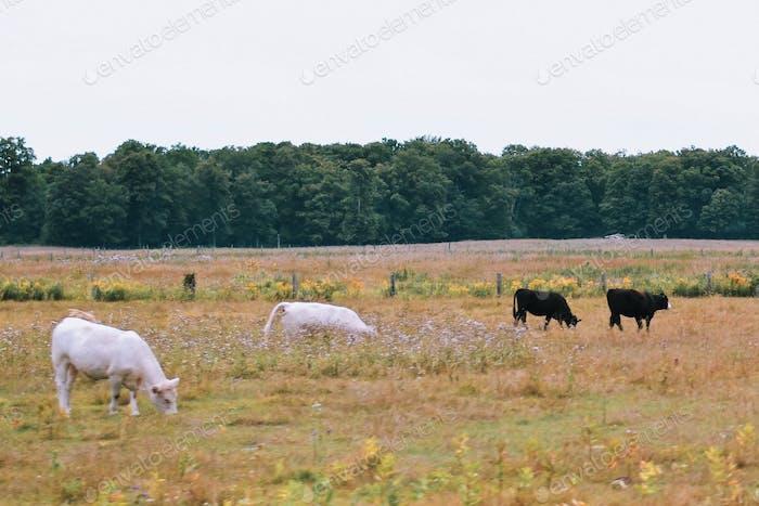 Weiße und schwarze Kühe weiden auf einer Weide auf einem Bauernhof auf dem Land