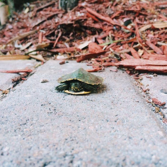Newborn Mutant Ninja Turtle!