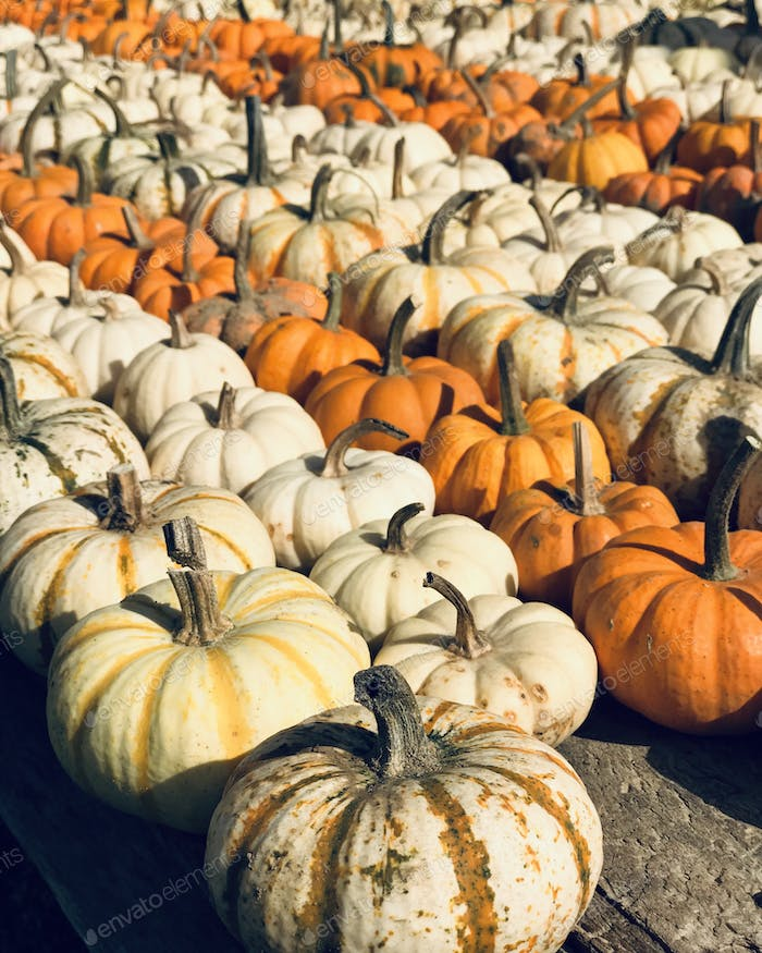 Rows of white and orange pumpkins lined up on diagonal lines.