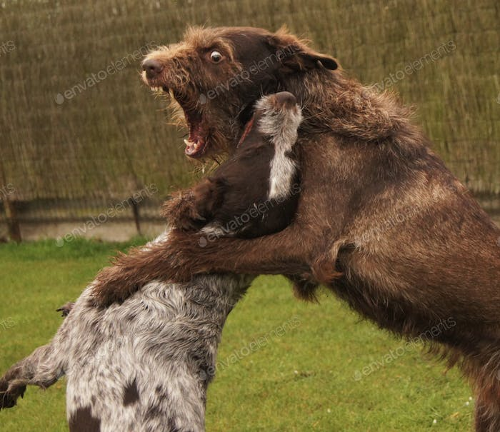 Two dogs playing and making it look like a fight