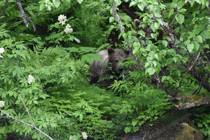 Baby grizzly bear in the woods