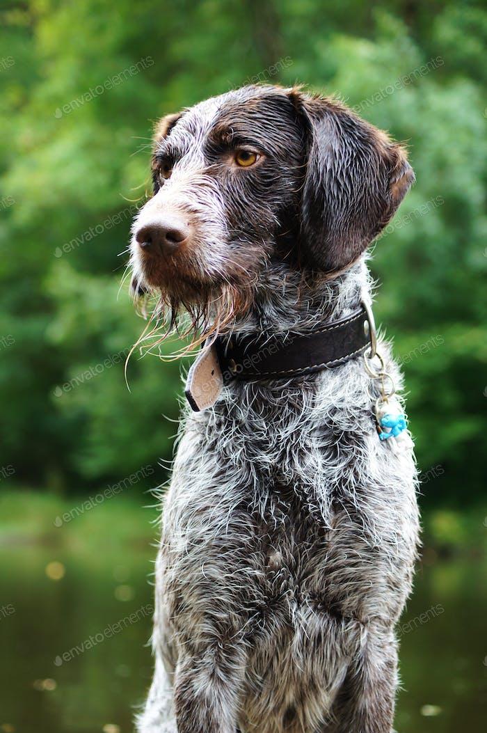 Wet pointer dog with a cute beard