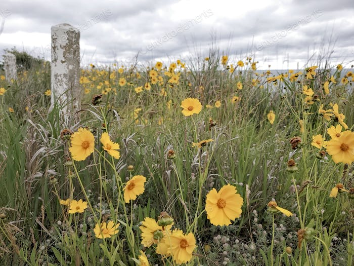 Yellow wildflowers are seen on a grassy bank overlooking the ocean on a cloudy day on Martha