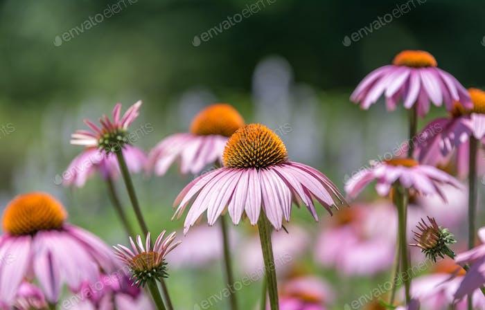 Pink cone flower, coneflower