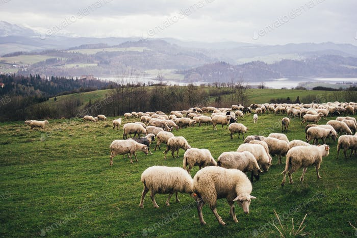Herd of sheep on a hillside pasture