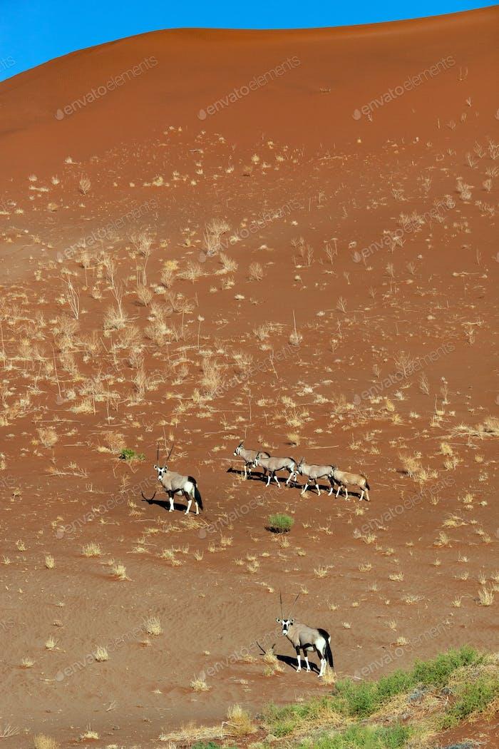 Group of Gemsbok Antelope (Oryx gazella) in the Namib-nuakluft National Park in the Namib Desert in
