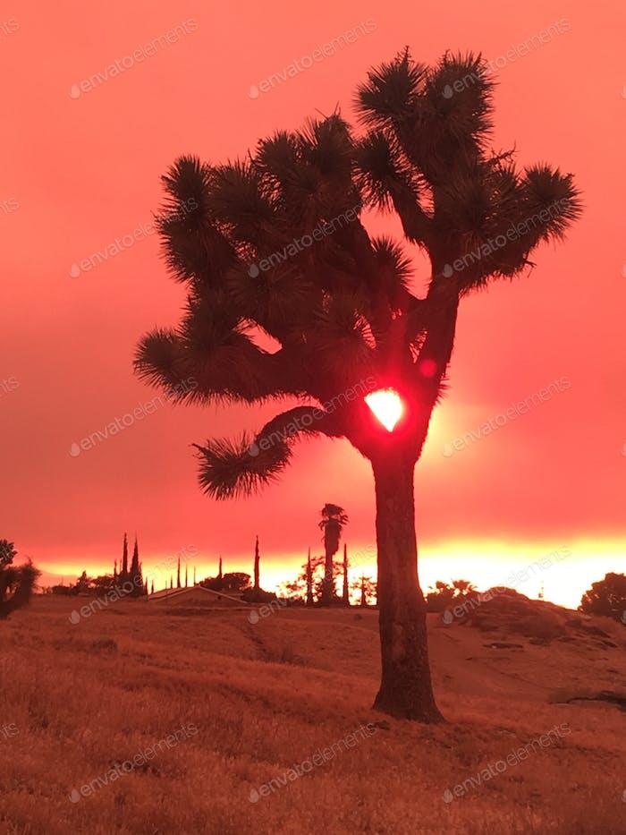 Joshua Tree against smoke filled sky