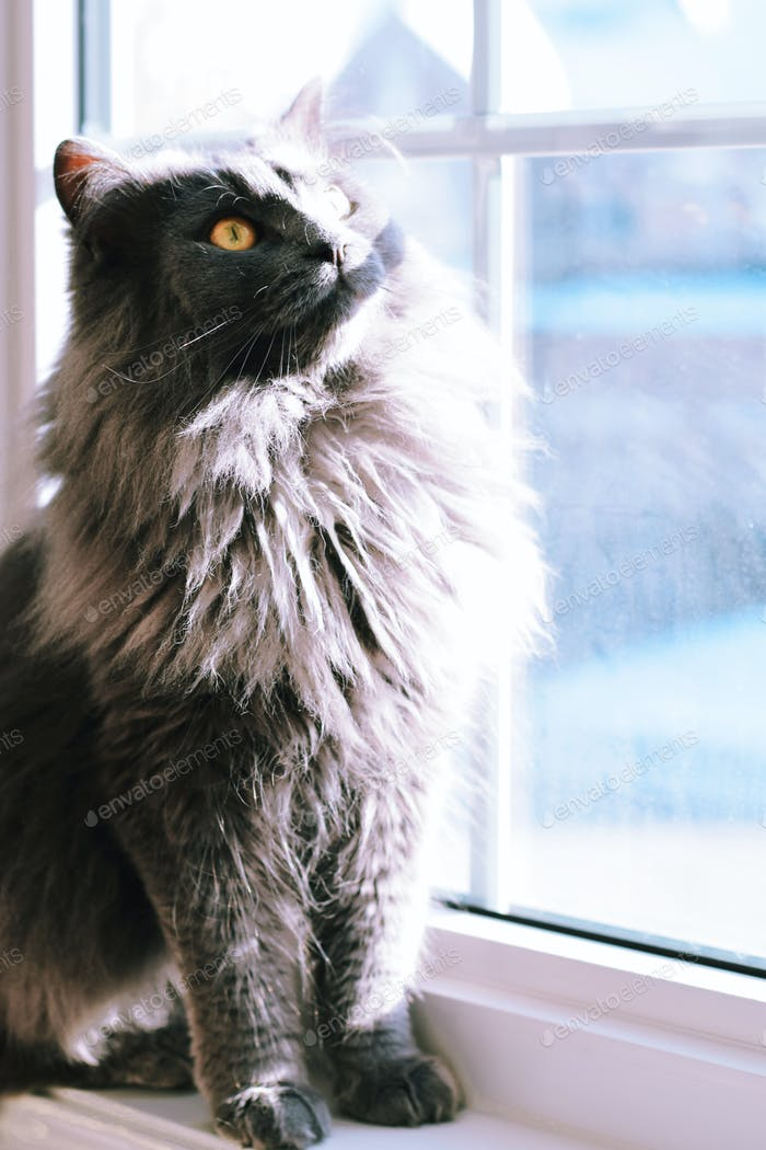 Beautiful gray fluffy Chantilly Tiffany cat with big yellow eyes sitting on a windowsill looking up