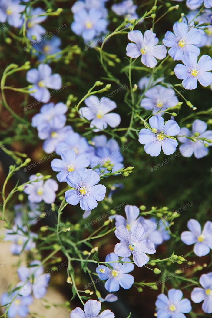 The flax flowers.