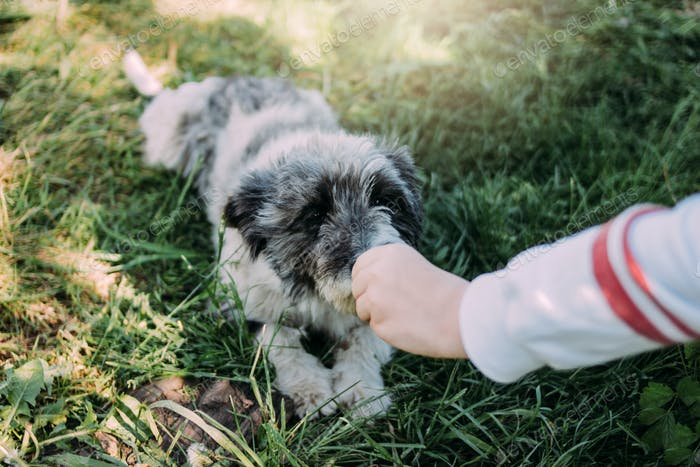 Curly grey charming yard mongrel dog lies in the summer green grass. Child feeds dog