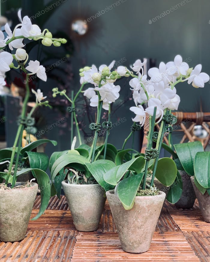 Potted Orchids.
