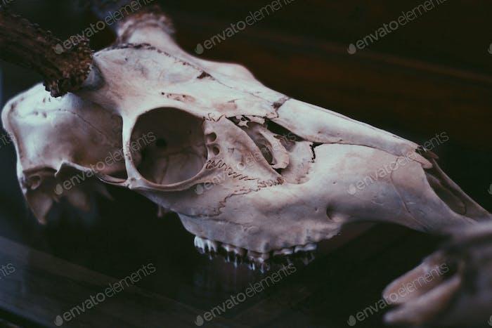 Antique shop skull