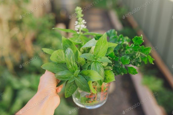 Harvesting herbs from the garden