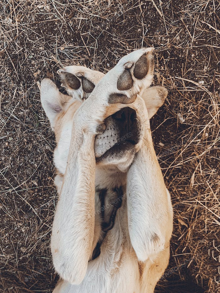 dog covers muzzle with paws, funny dog