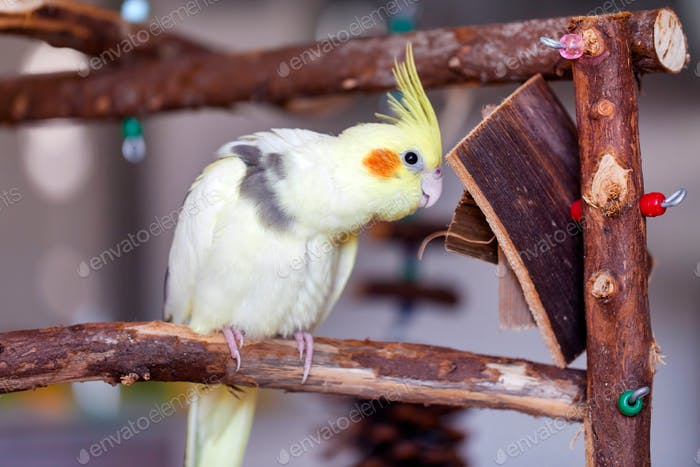 Pretty domestic cockatiel parrot at his special playground