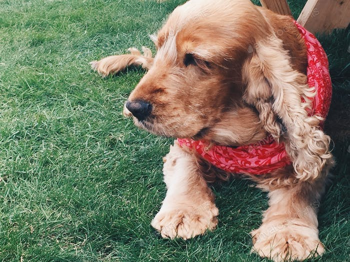 Cocker spaniel in red scarf