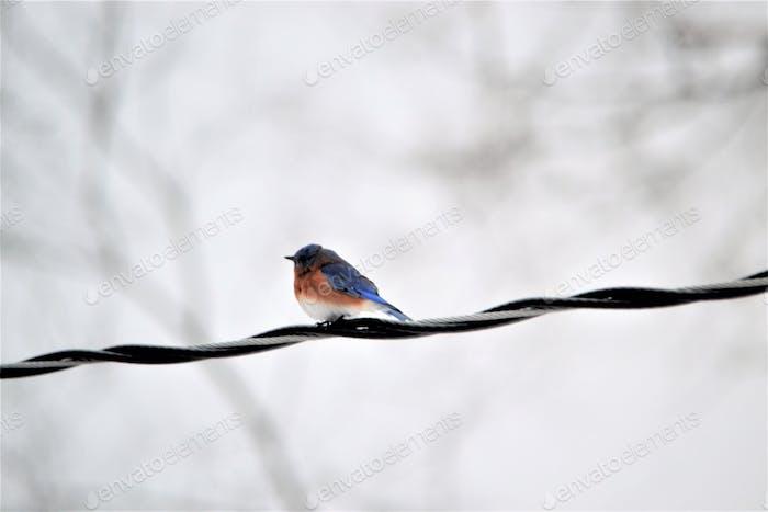 Bluebird on a wire~