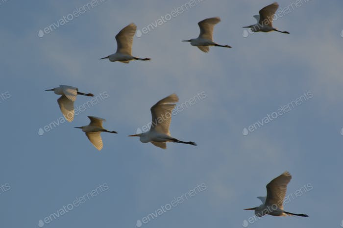 Moments in nature depicted by a group of Great Egret flying overhead.