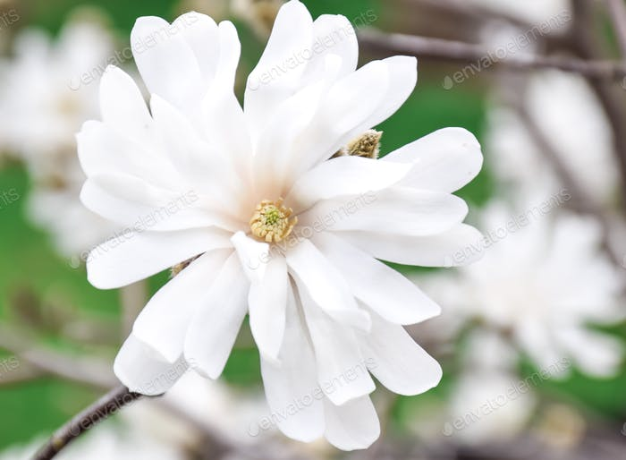 Beautiful white magnolia flower. Magnolia Stellata, Star magnolia