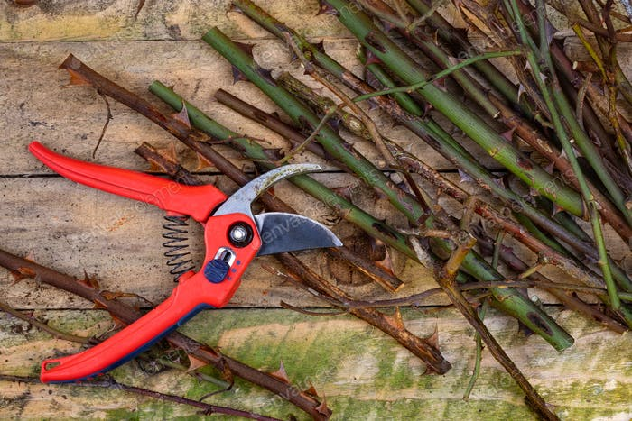 Gardening - pruning roses with secateurs