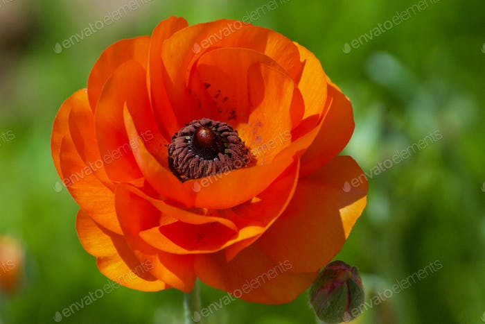 NOMINATED This amazing orange ranunculus flower shows evidence of the bumble bee that was just
