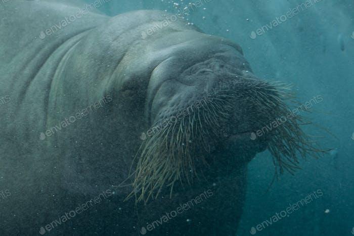 Walrus under water