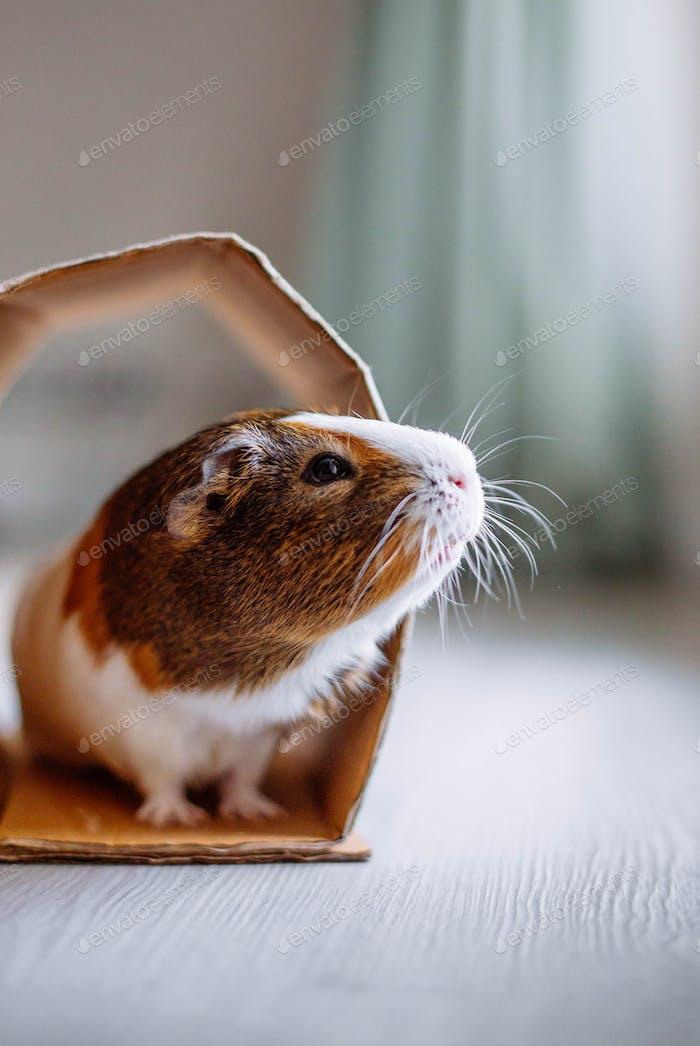 guinea pig at home