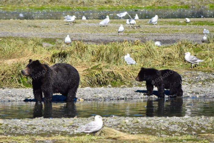 Momma Grizzly and bear cub along Pack Creek on Admiralty island Alaska