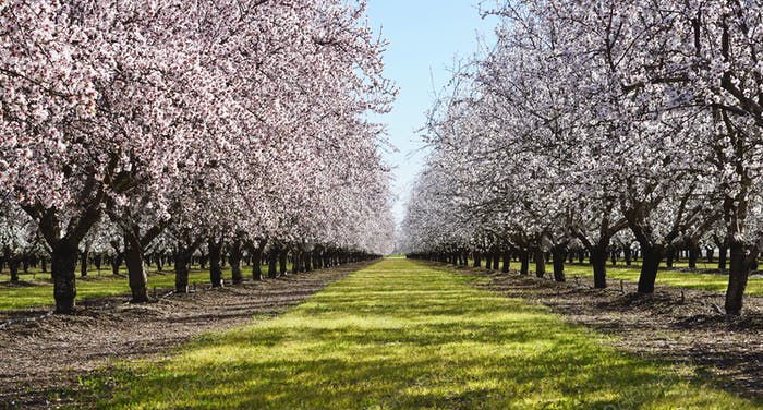 Rows of almonds trees in bloom