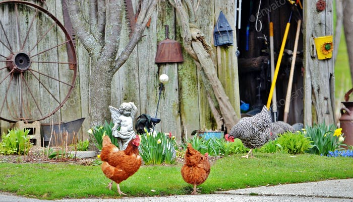 Country living with chickens on the farm