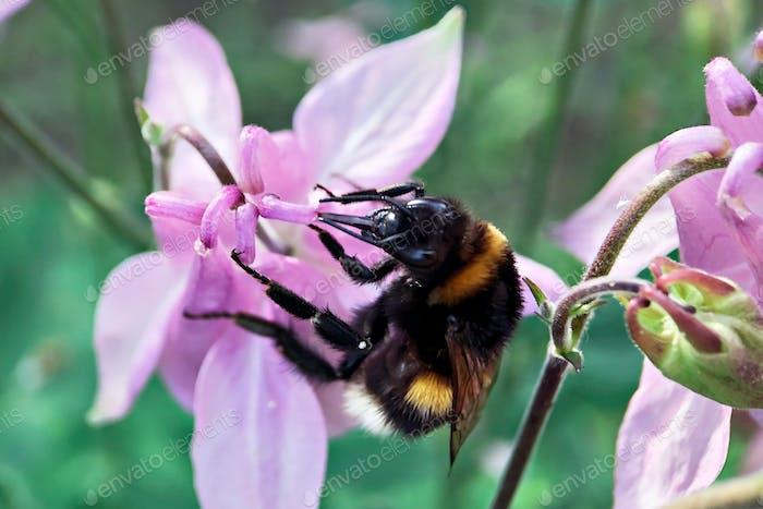 Bumblebee close-up auf einer rosa Blume im Garten.