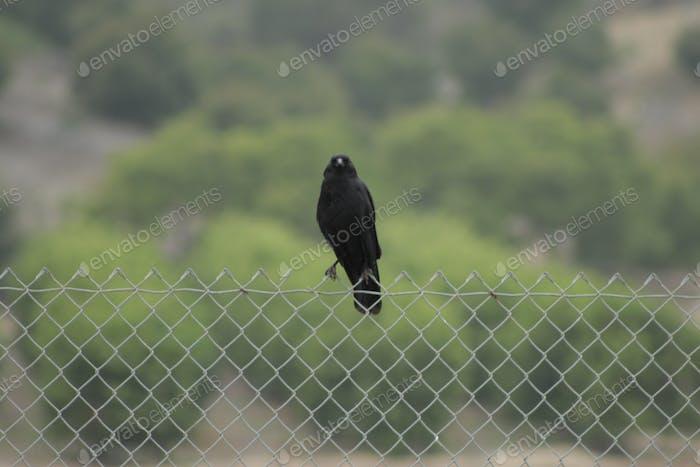 Eine Krähe thront auf einem kettenverbundenen Zaun.