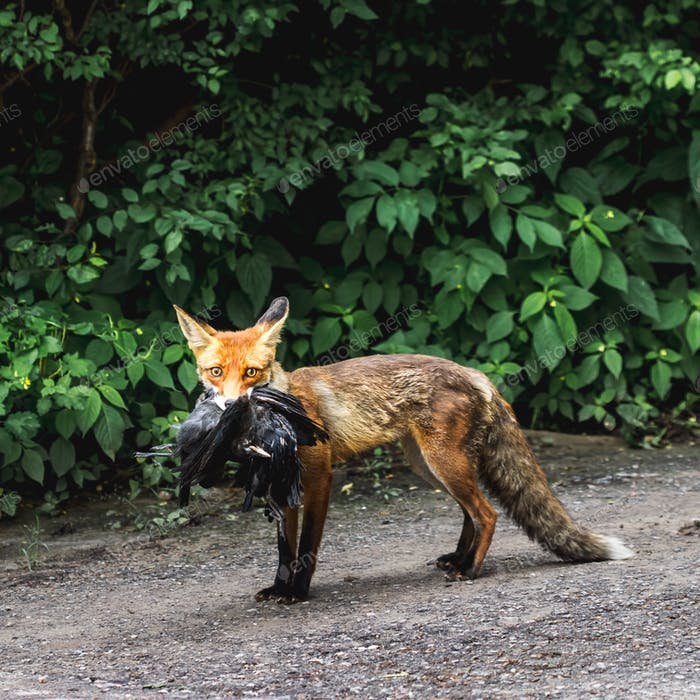 Fox with prey