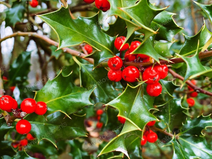 Close up of Christmas holly