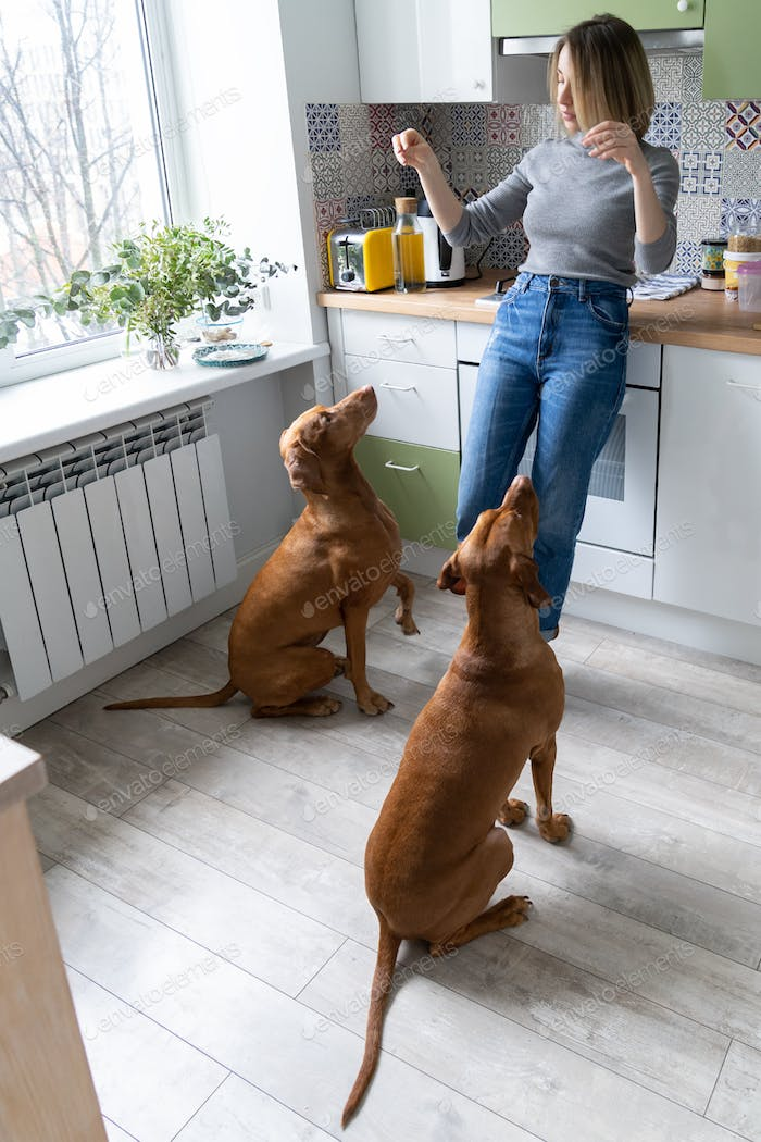 Caring for dog at home: woman of middle age playing training two polite Wirehaired Vizsla in kitchen