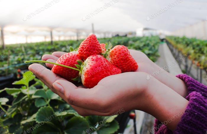 Strawberries picking.