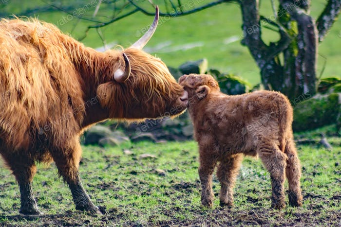 Highland cattle cow with her newborn little calf, pampering, caring, loving her furry baby