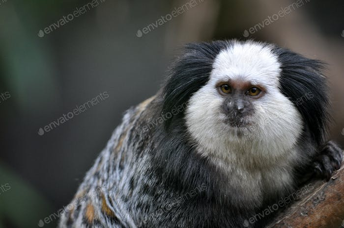 A cute of Common Marmoset or White - eared Marmoset.
