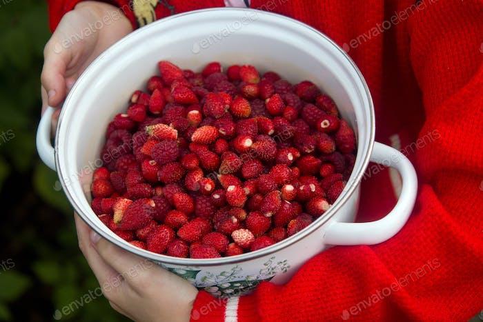 Raspberry and strawberry picking