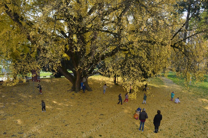 Children playing under the gingko tree