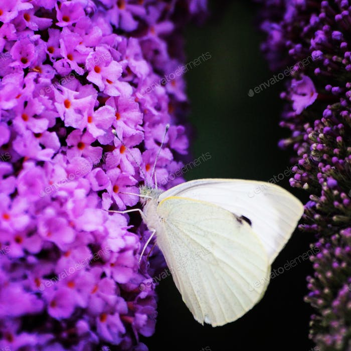 White butterfly sitting on a purple butterfly bush, contrasting colors