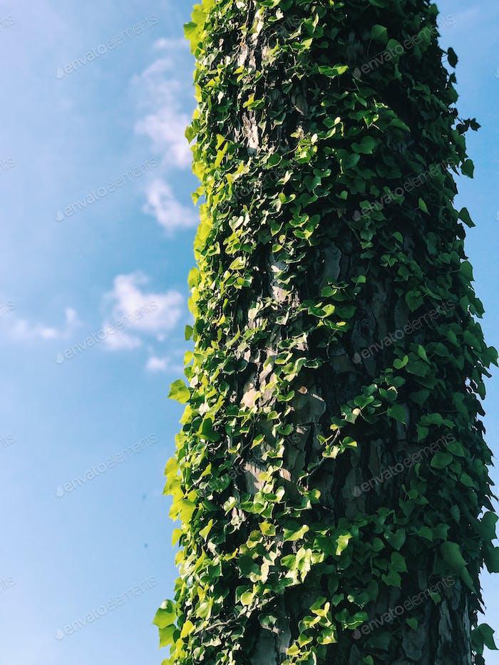 Säule mit grünem Efeu bedeckt