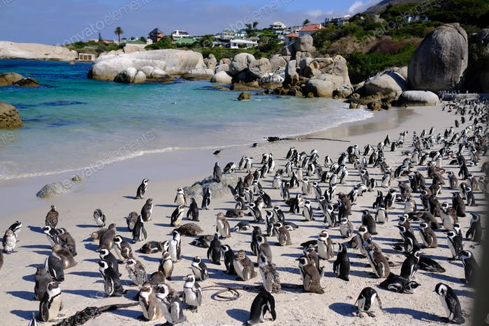 penguins colony South Africa, Simon's town beach. Boulders beach 🌟Nominated🌟 💲💲