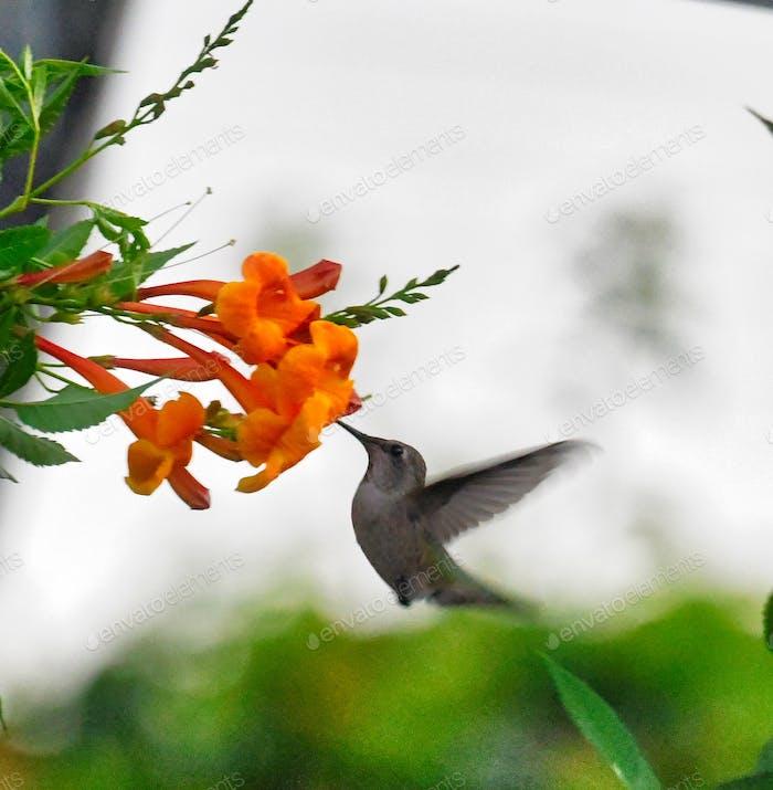 Colibrí con su hocico en las flores de la trompeta naranja brillante