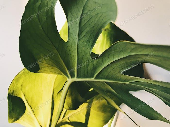 Closeup of monstera leaves