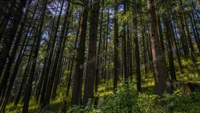 Forest; trees; nature; greenery; countryside; earth; wildlife; national park; Mexico; non urban;