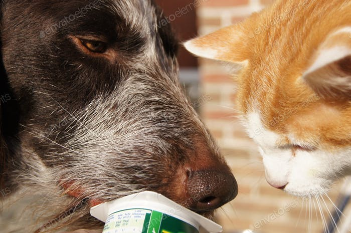 Cat and dog licking a yochurt together