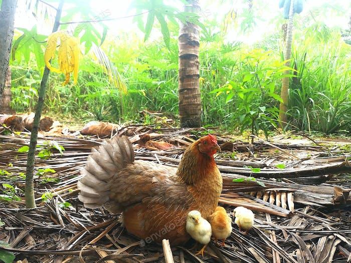 pollo con pollos